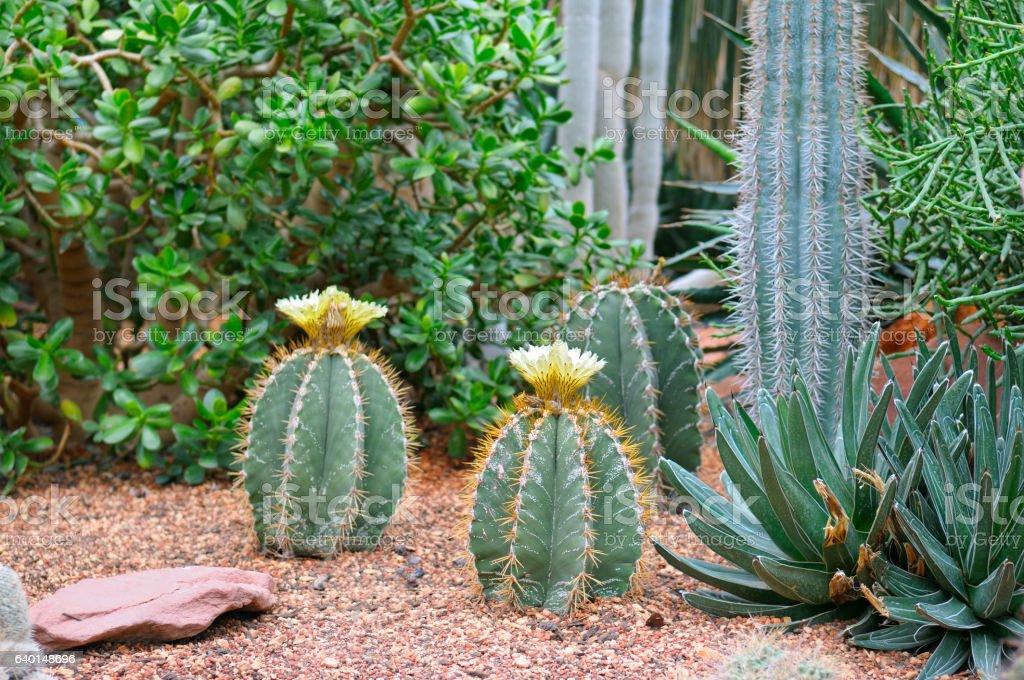 Cacti and other sukkulenty.Fokus on a cactus with  flower stock photo