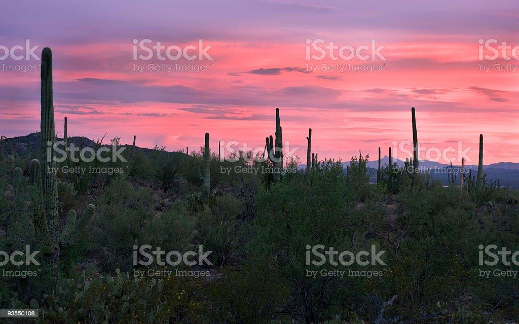 Cacti in purple suset stock photo