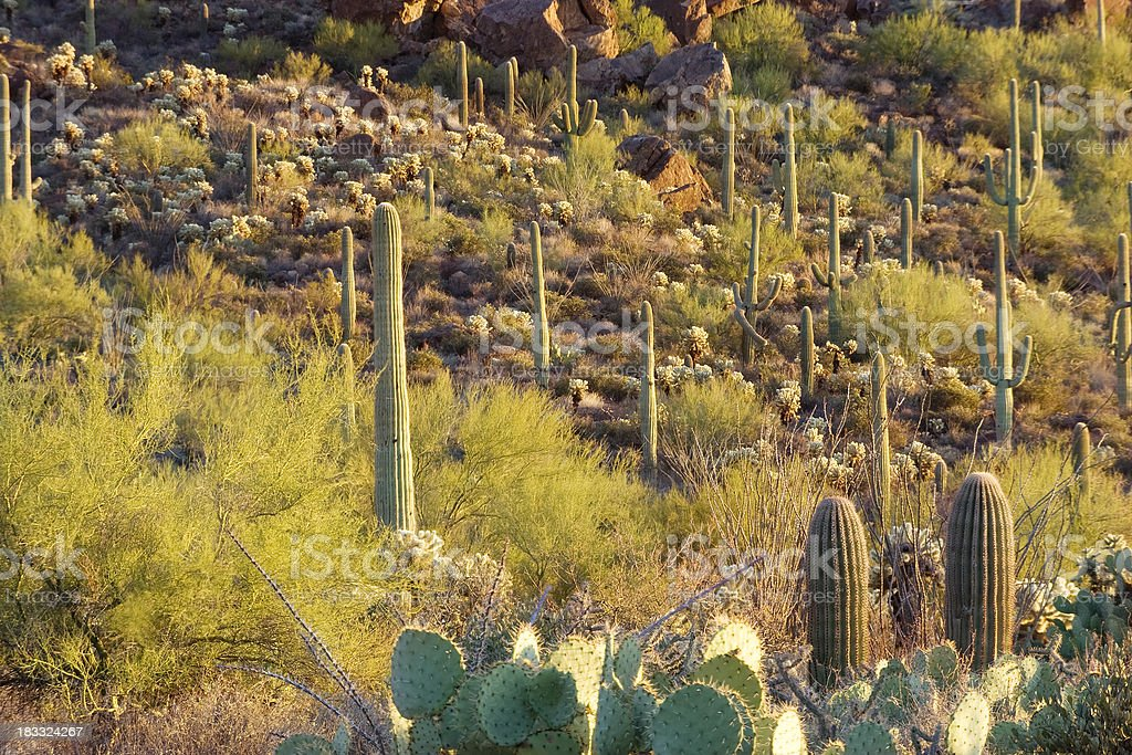 Cacti on Hill stock photo