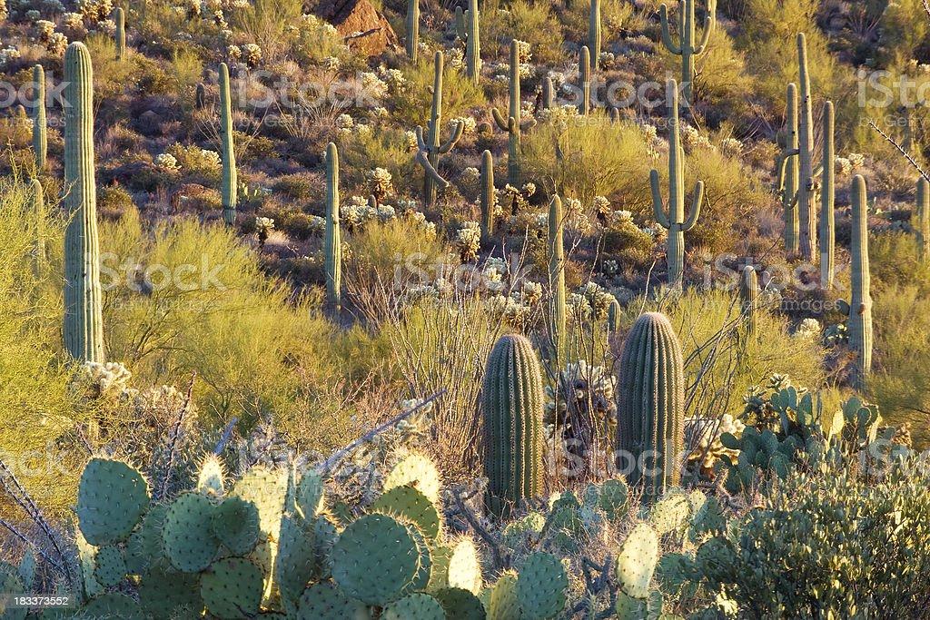 Cacti on Hillside stock photo