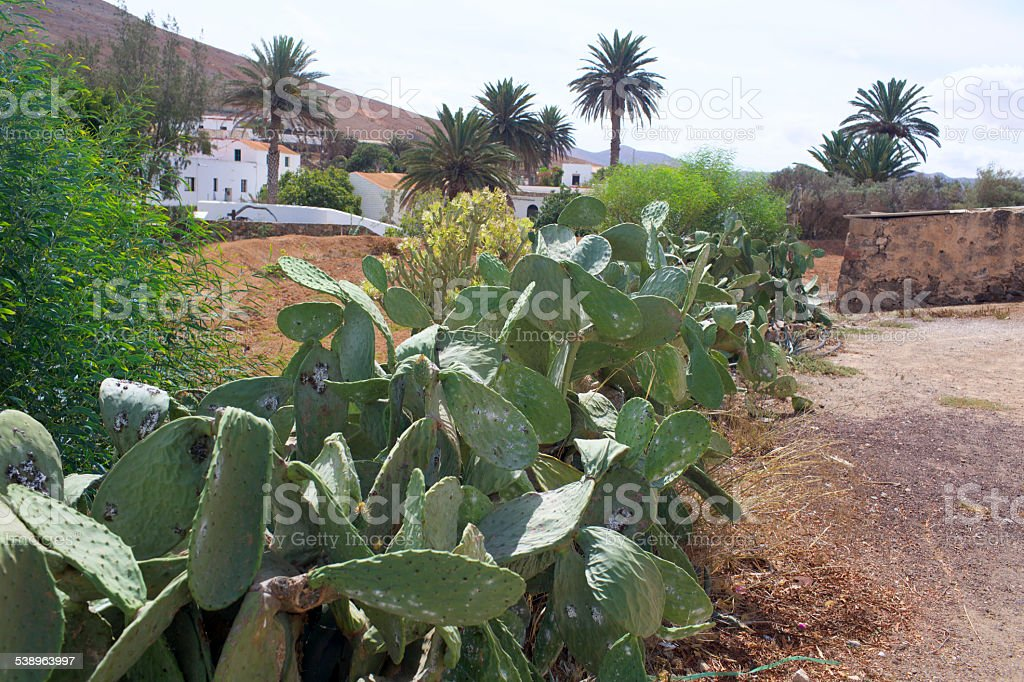 Cacti on the island of Fuerteventura stock photo