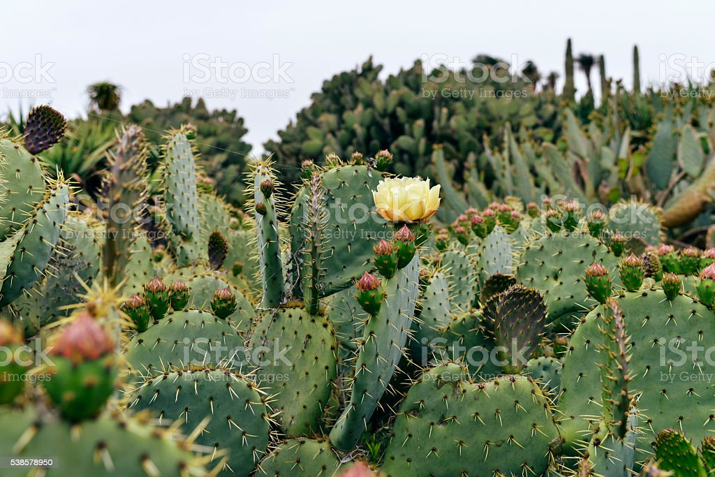 Cacti with blooming flower. Botanicactus. Mallorca. Spain. stock photo