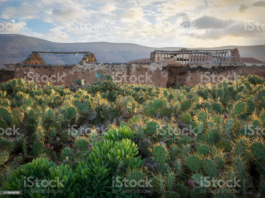 Cacti with ruins La Oliva Fuerteventura Canary-Islands Spain stock photo