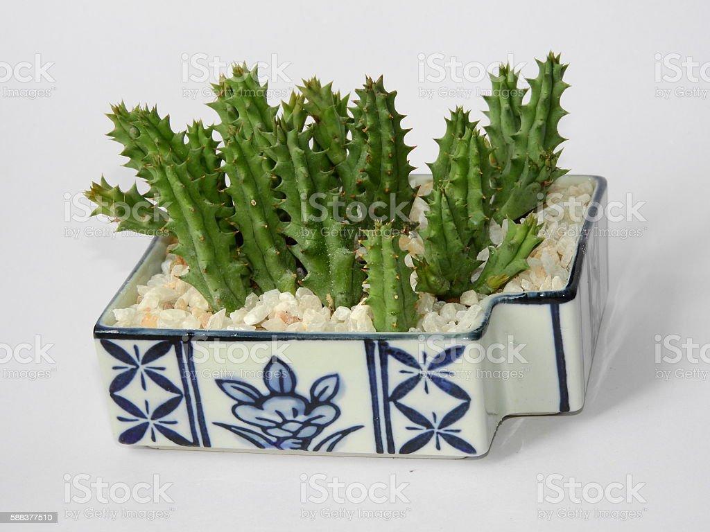 Cactus adorable stock photo