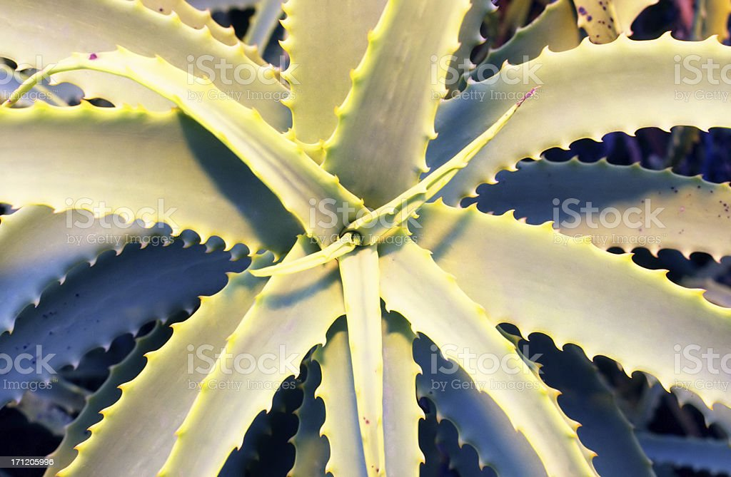 Cactus Aloe Vera royalty-free stock photo