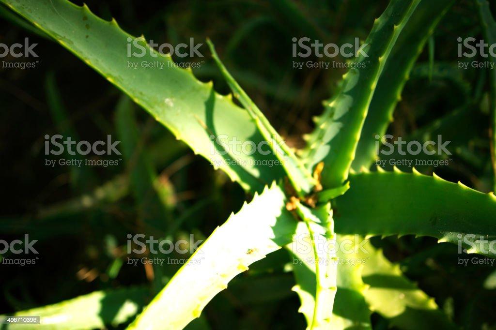 Cactus , Aloe Vera plant stock photo