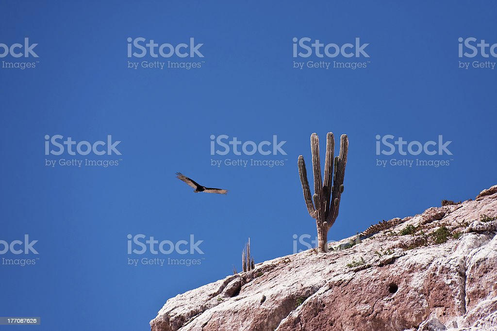 Cactus and Vulture stock photo