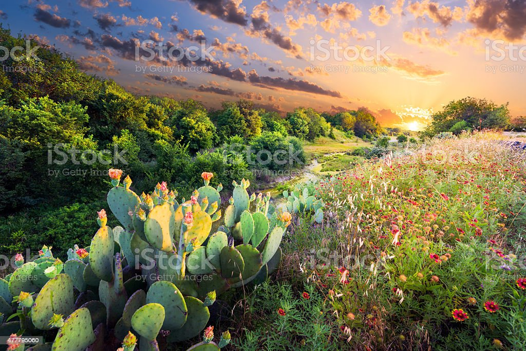 Cactus and Wildflowers at Sunset stock photo