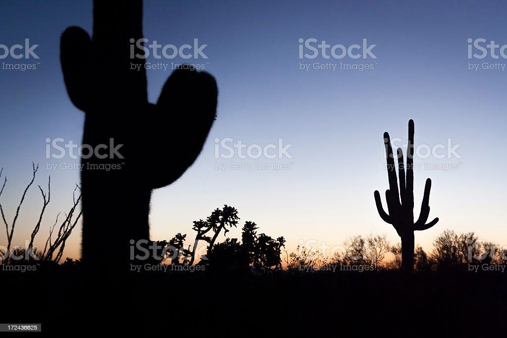 Cactus at Sunset royalty-free stock photo