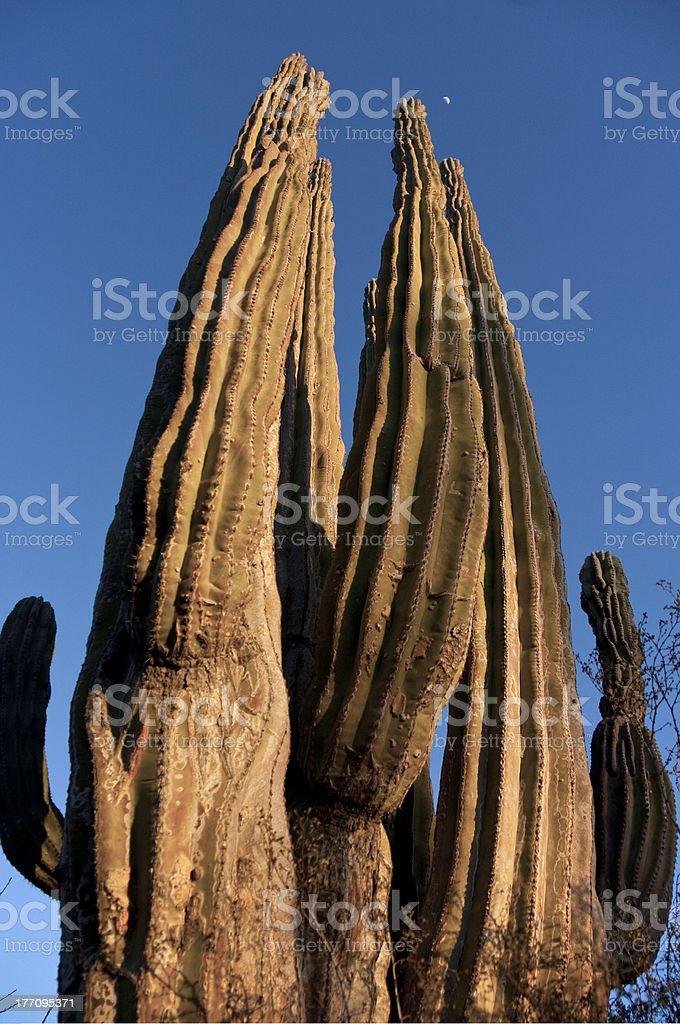 Cactus at sunset stock photo