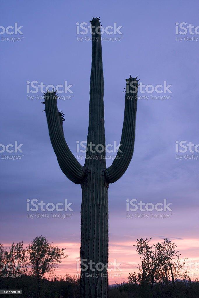 Cactus at suset in Saguaro National Park stock photo