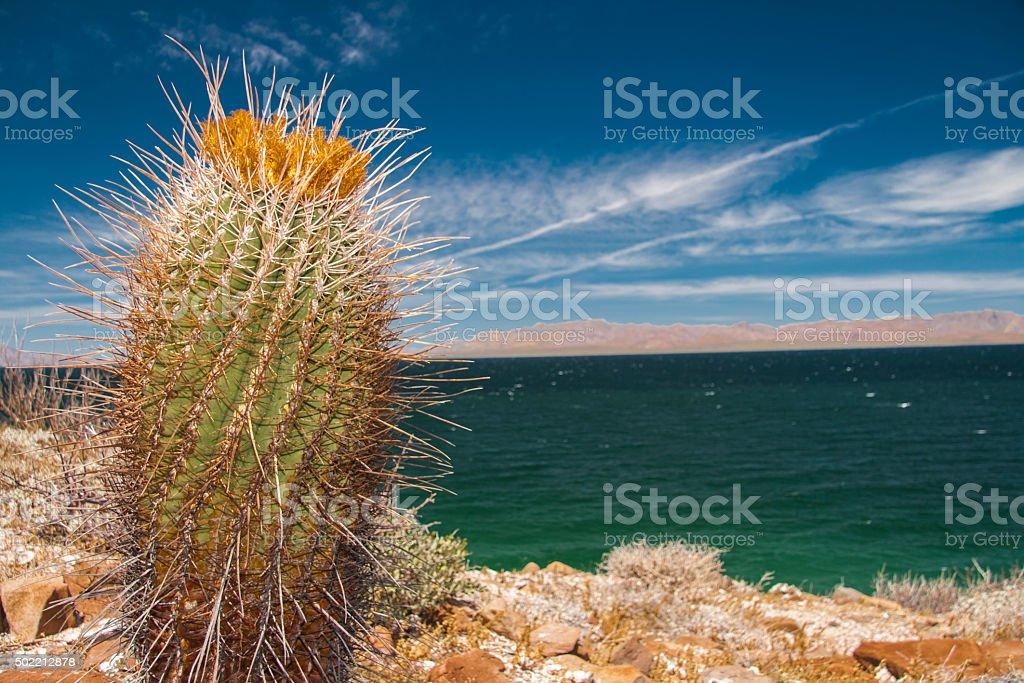 Cactus, Baja California. stock photo