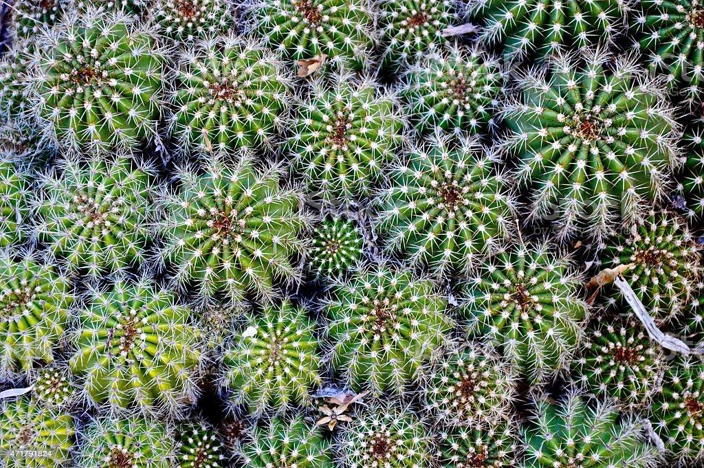 Cactus Balls royalty-free stock photo