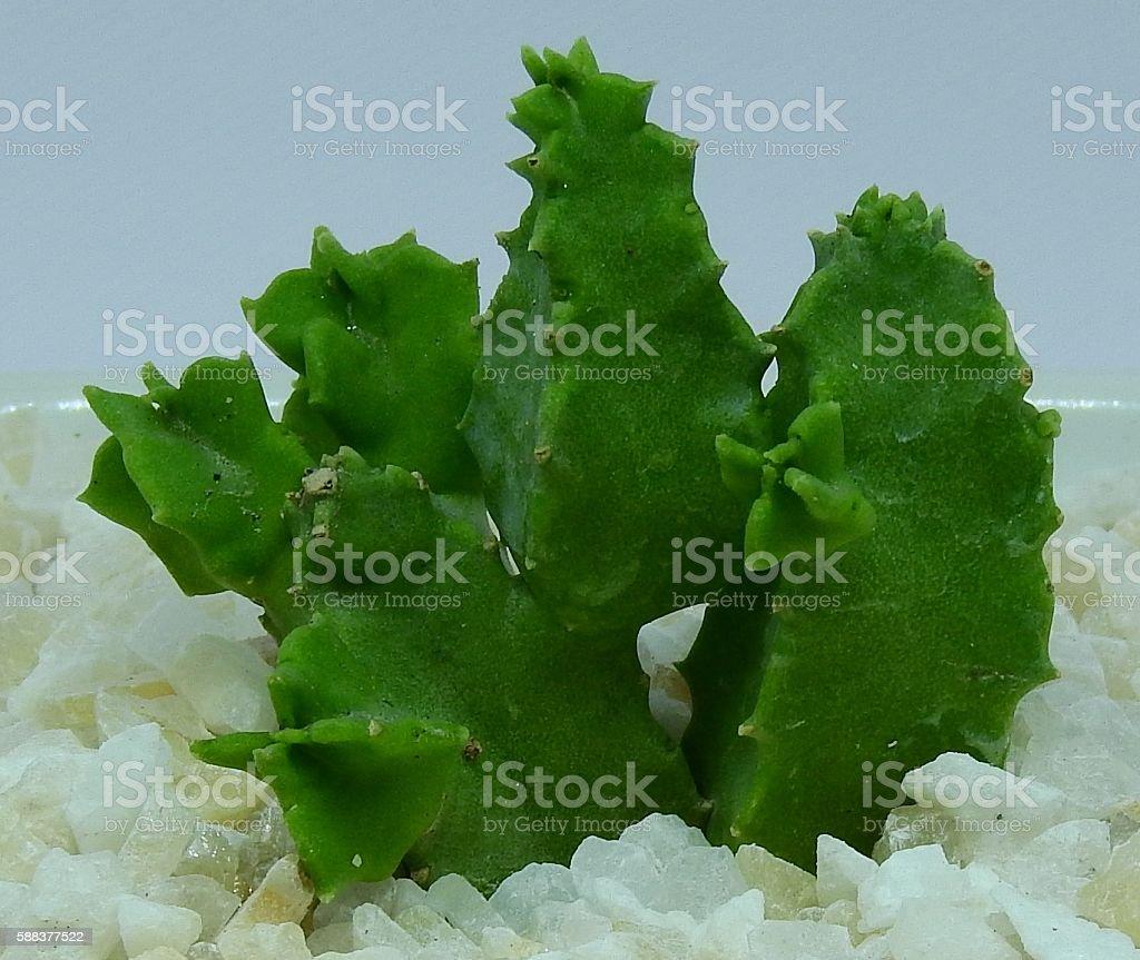 Cactus beautiful stock photo