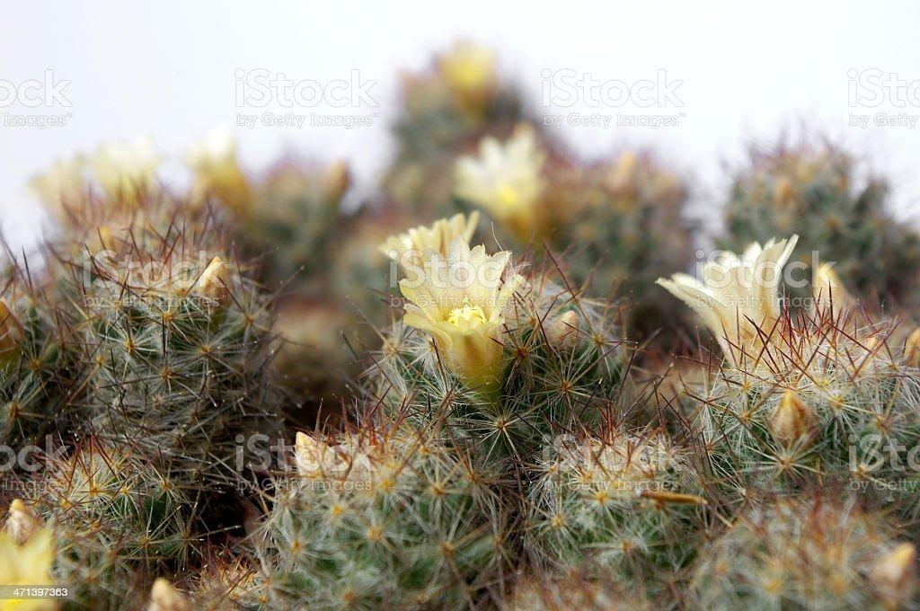 Cactus bloom stock photo