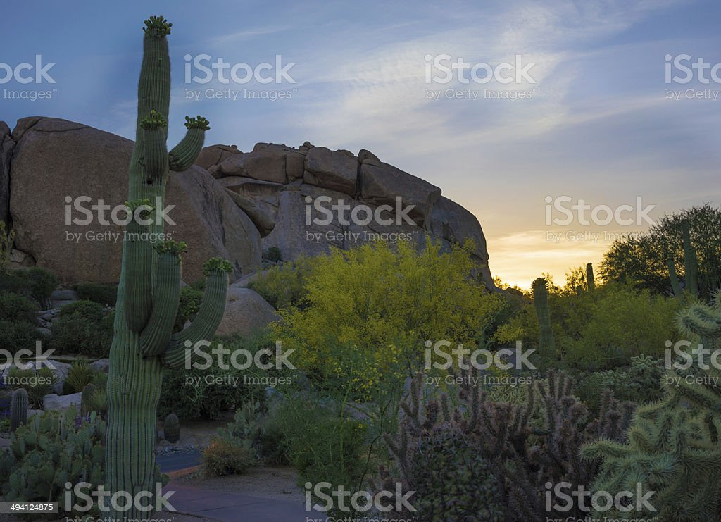 Cactus Blooming in the Desert royalty-free stock photo