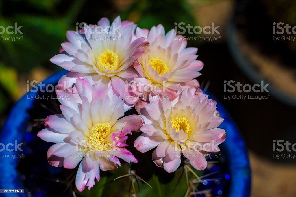 cactus blooms stock photo