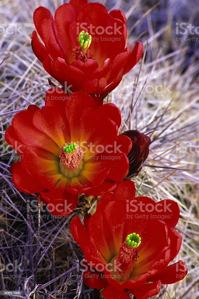 cactus blooms royalty-free stock photo
