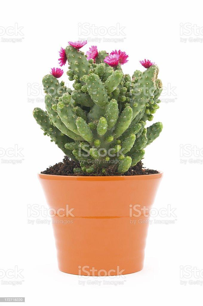 Cactus blossoms stock photo