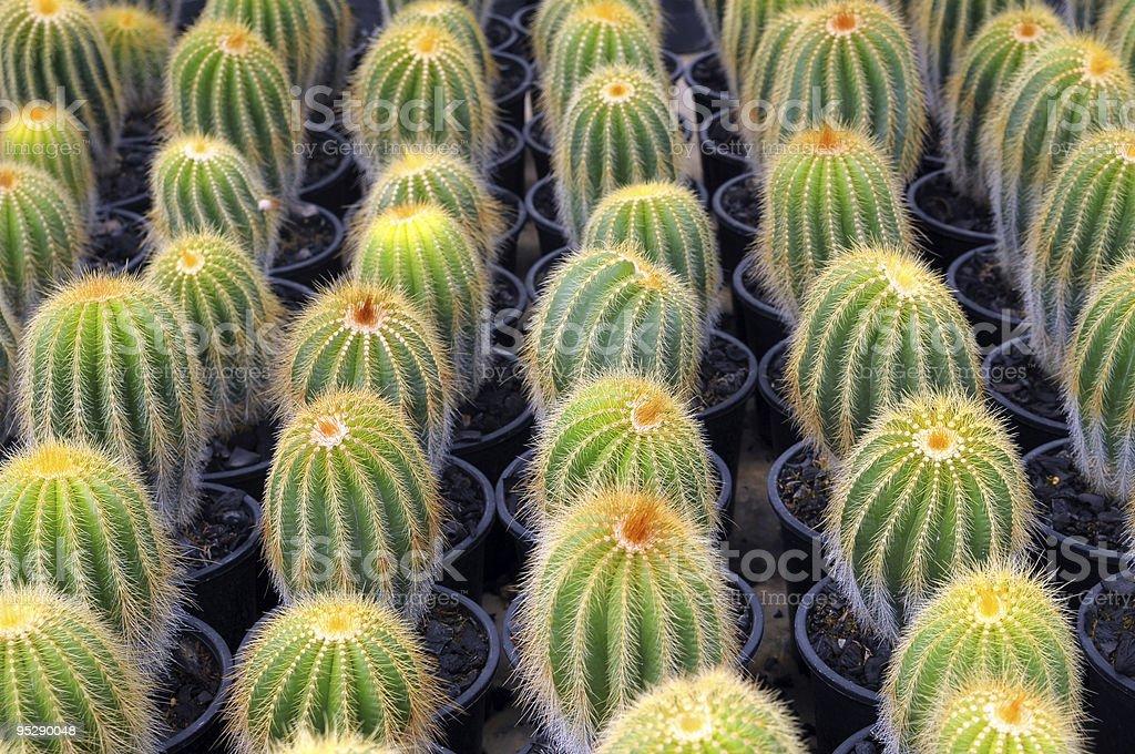 Cactus Breeding stock photo