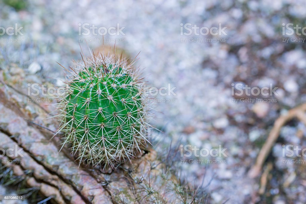 Cactus Close up of globe shaped cactus with long thorns. stock photo