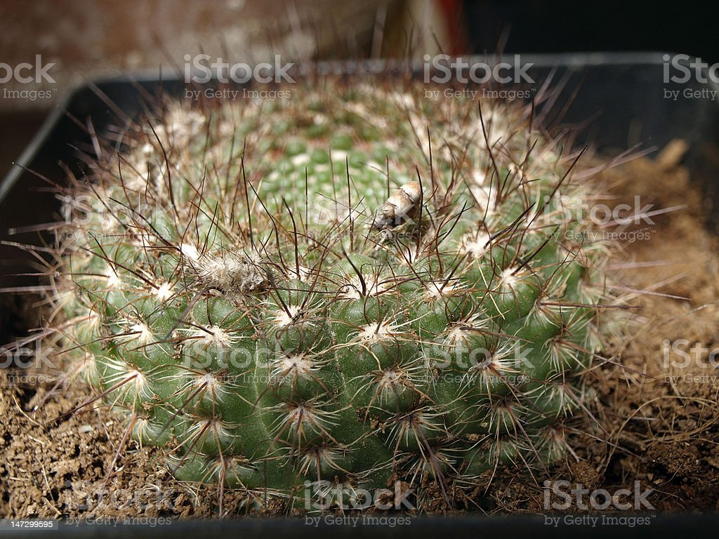 cactus desertic plant from mexique stock photo