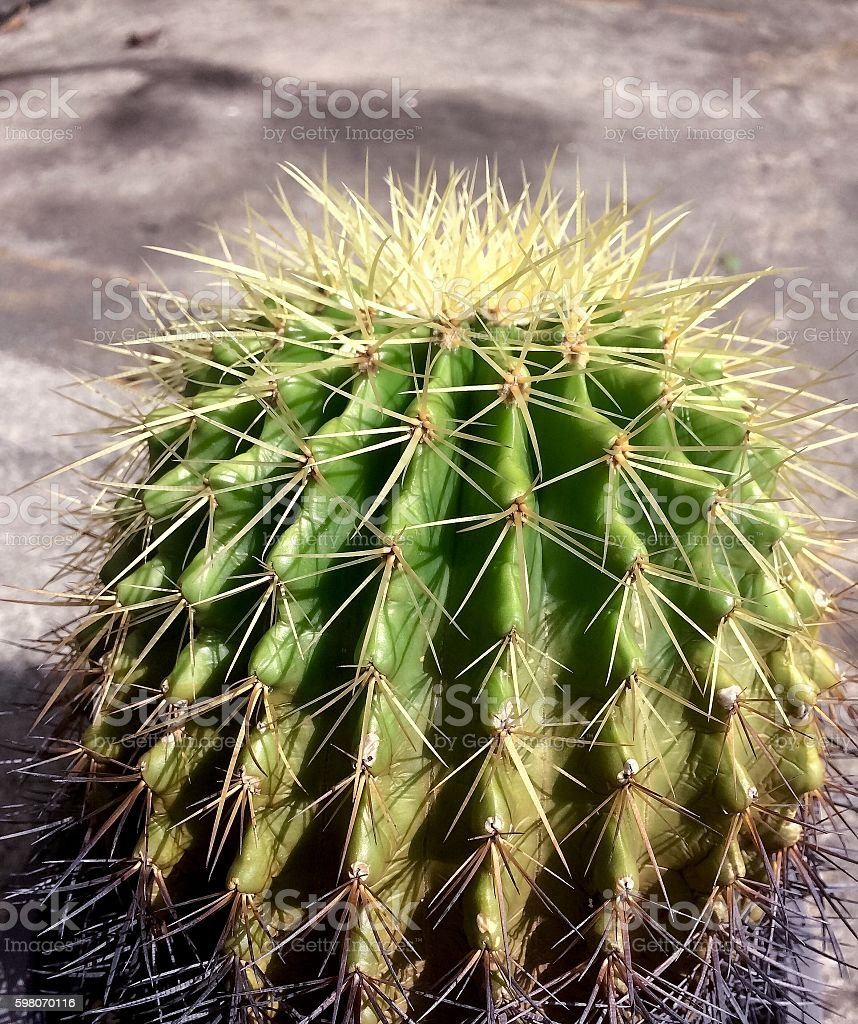 Cactus drought resistant plants stock photo