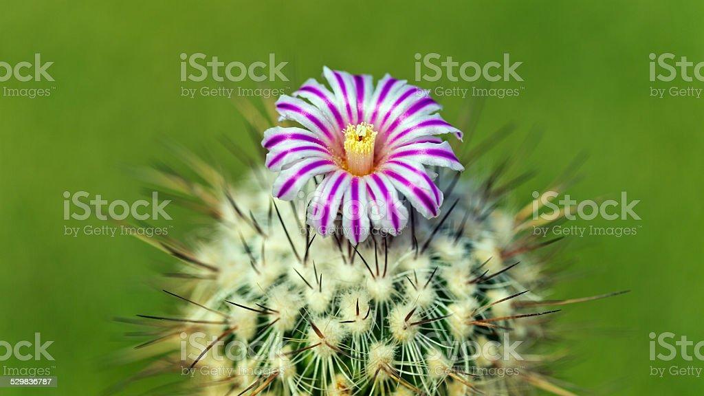 Cactus, Echinofossulocactus crispatus, with striped blossom stock photo