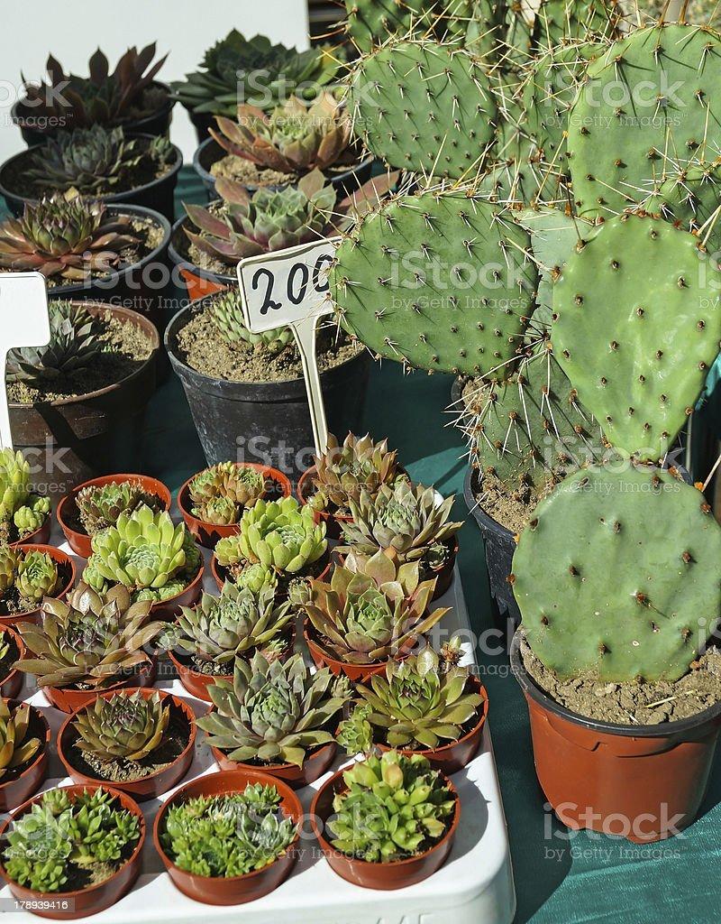 cactus fair royalty-free stock photo