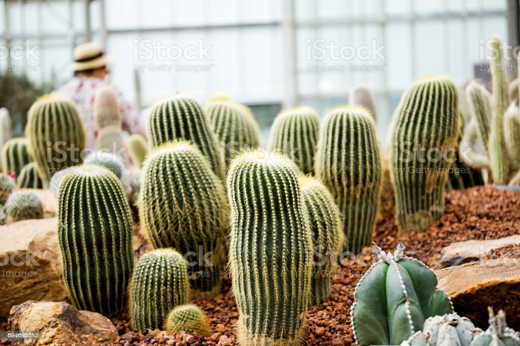 Cactus Family, barrel cactus, close-up barrel cactus stock photo