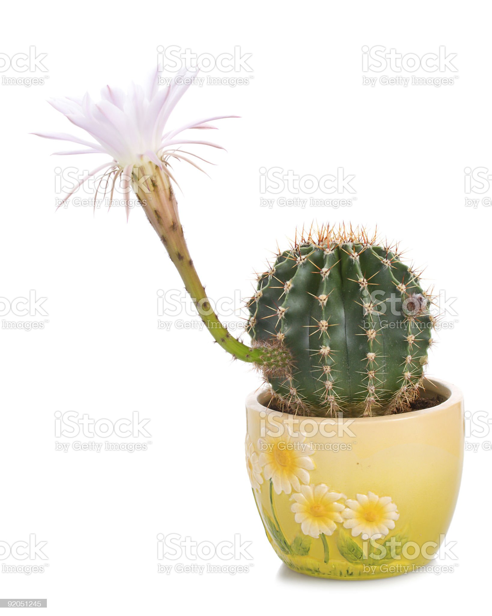 cactus florescence time royalty-free stock photo