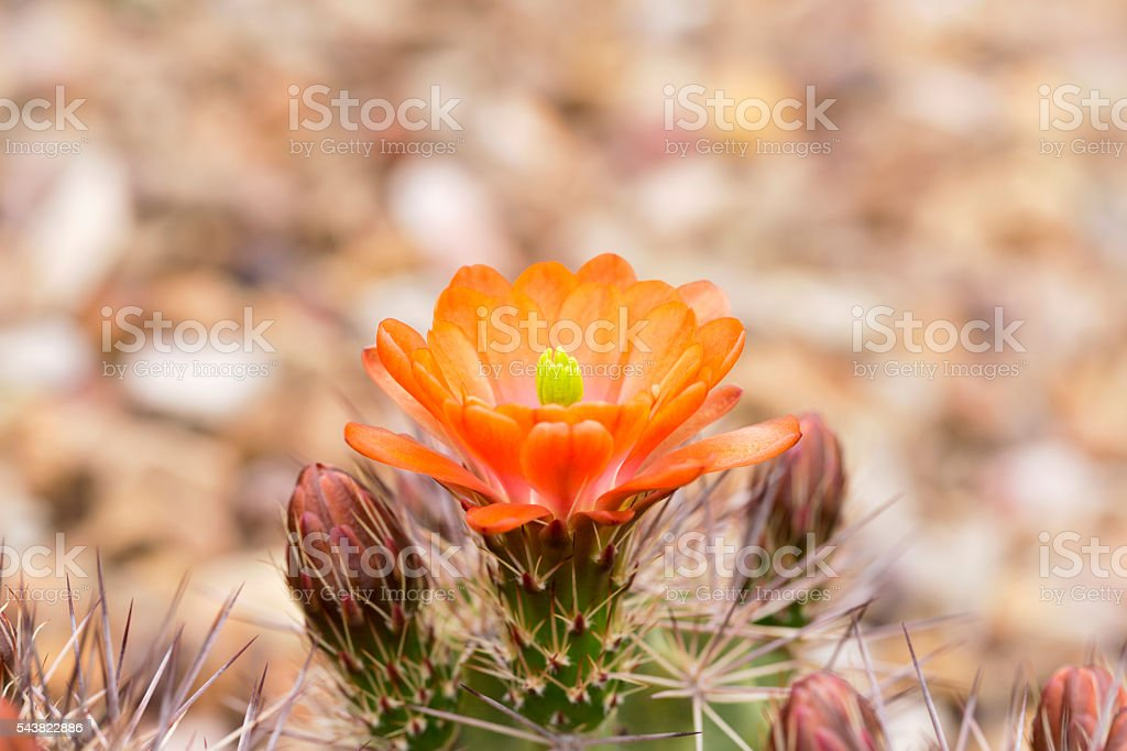 Cactus flower and buds stock photo