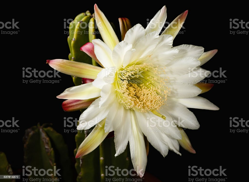 Cactus Flower at Night stock photo