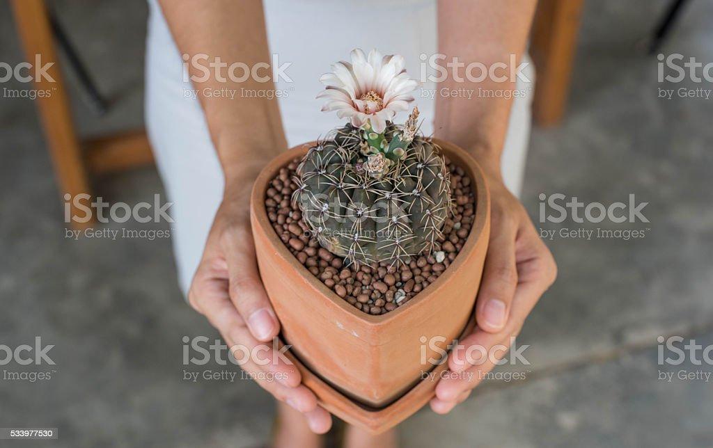 Cactus flower in clay pot,Gymnocalycium stock photo