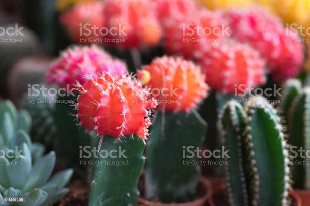 Cactus flower in the pot, soft focus stock photo