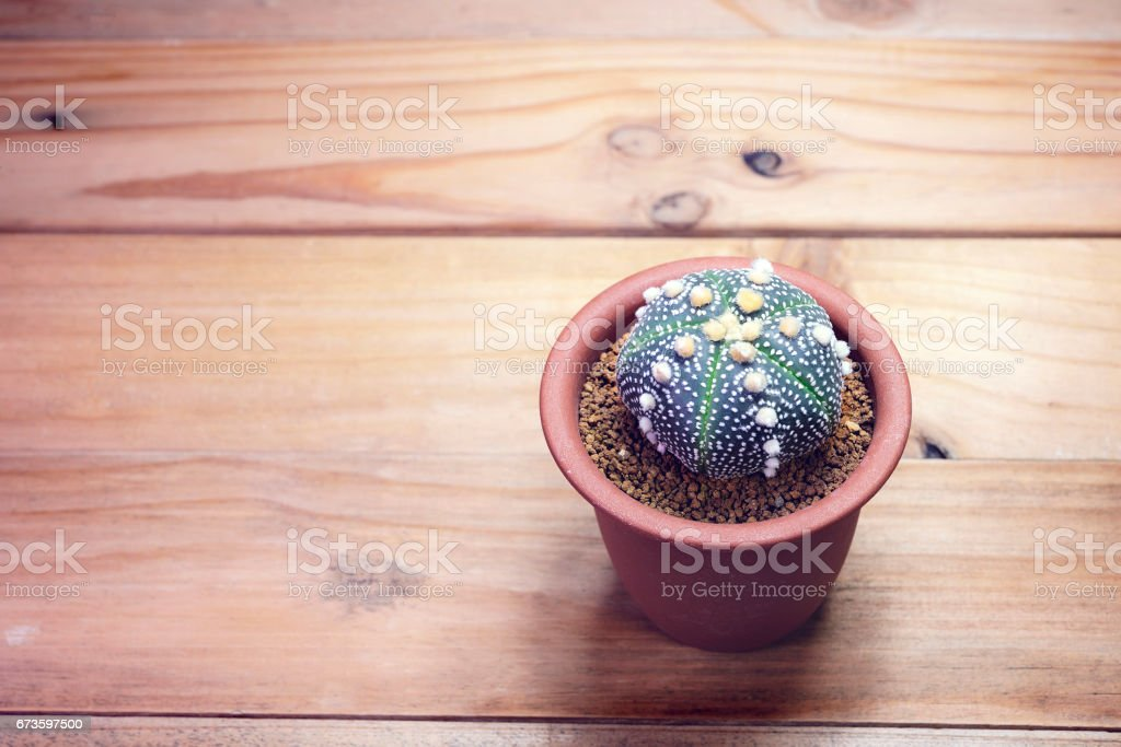 Cactus flower on  background Top view stock photo