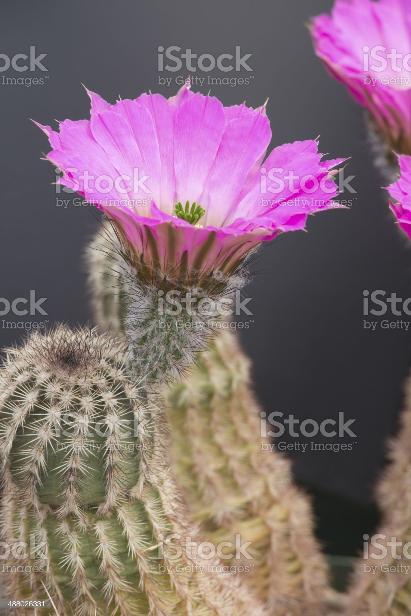 Cactus Flower, Petals, Pistil and Stamen Close-up royalty-free stock photo
