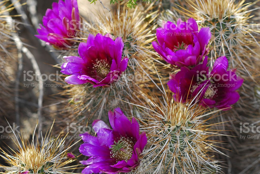 Cactus Flower royalty-free stock photo