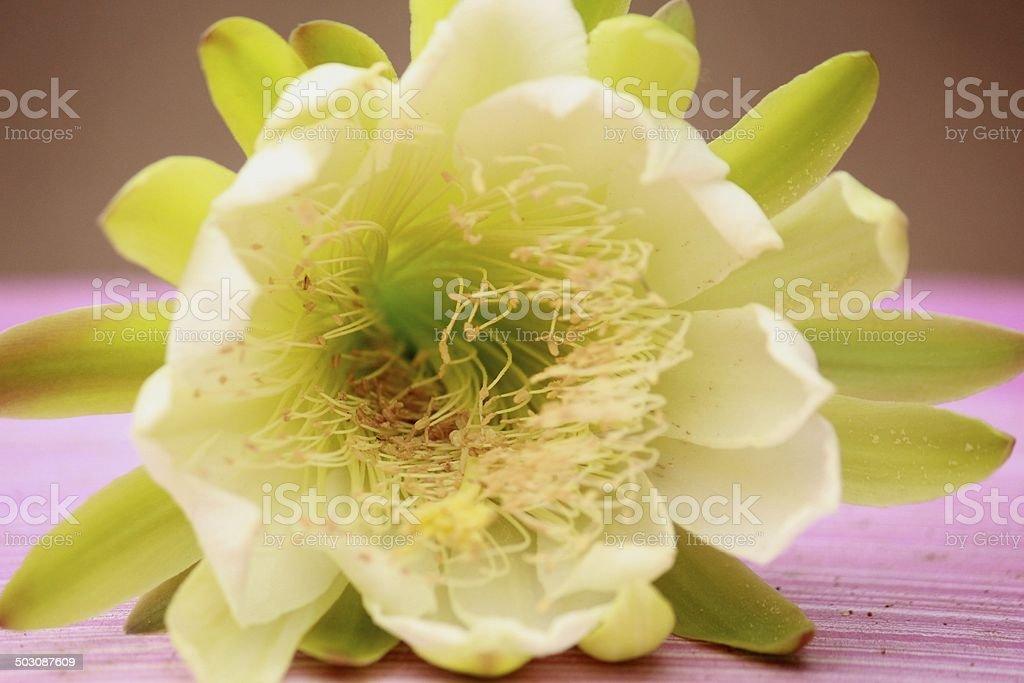 Cactus Flower royalty-free stock photo