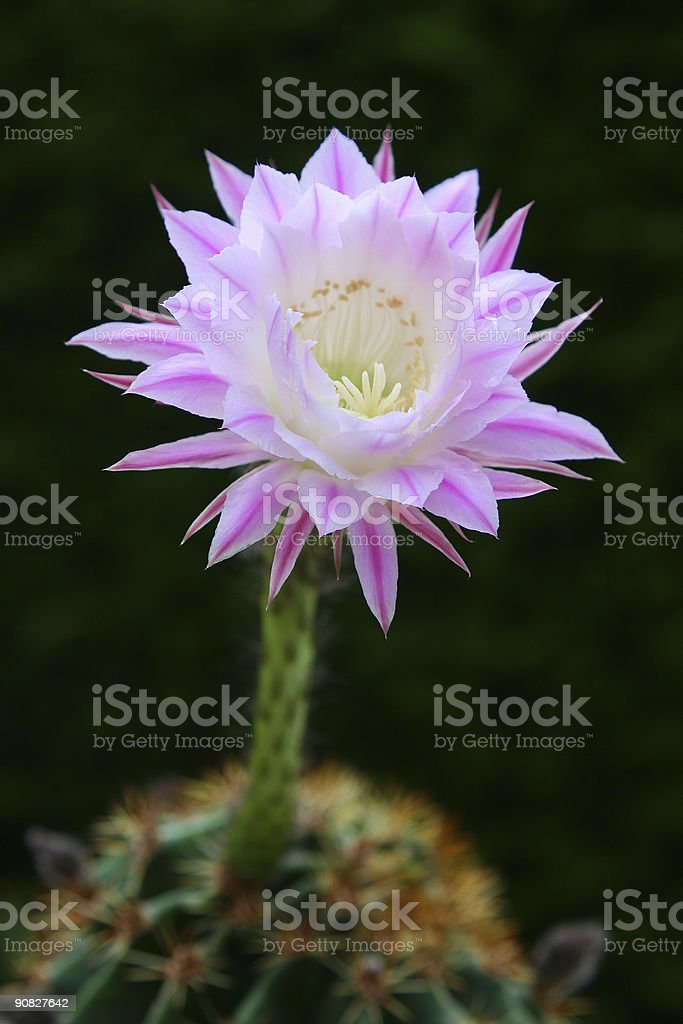 Cactus Flower (Echinopsis) royalty-free stock photo