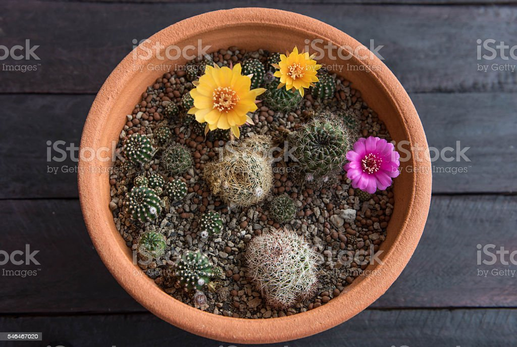 cactus flower,Echinopsis and Lobivia cactus flower,selected focu stock photo