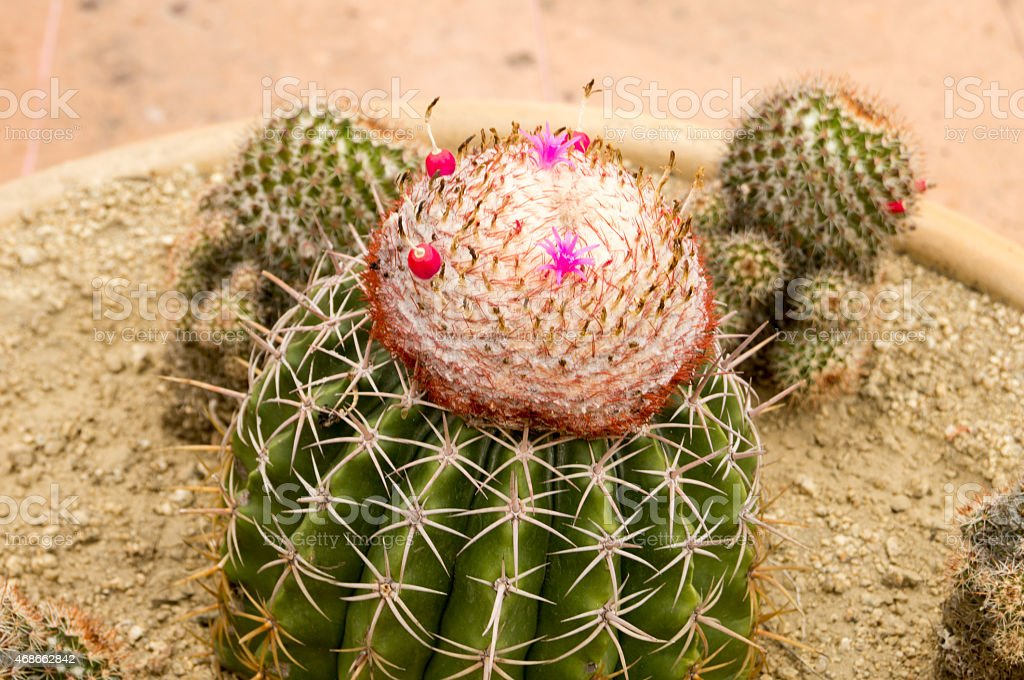 Cactus flowering in a plantpot over tiled floor. stock photo