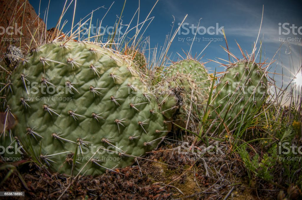 Cactus Flowering In The Spring stock photo