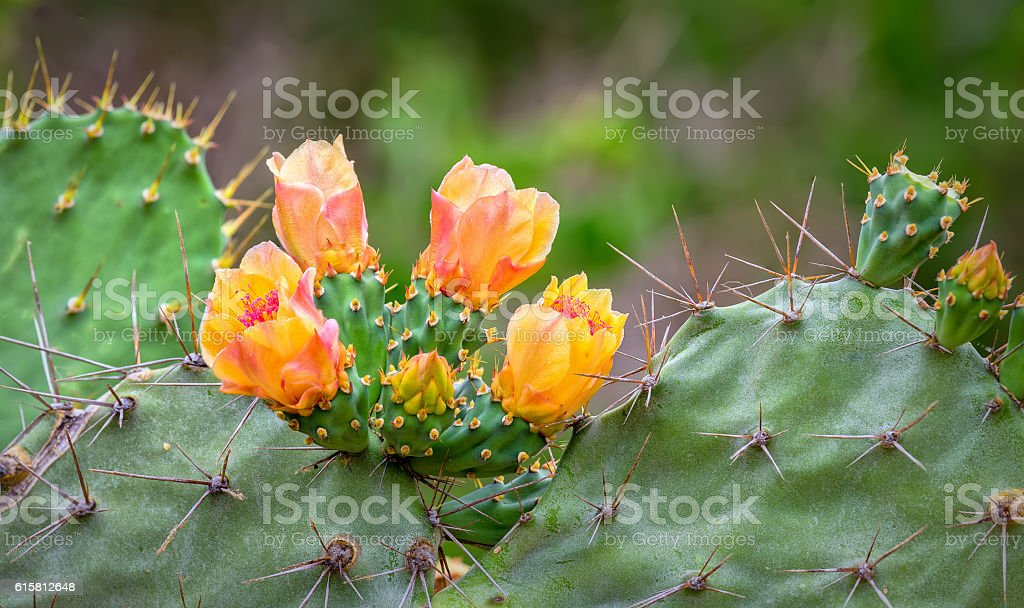 Cactus flowers blooming in the wild stock photo