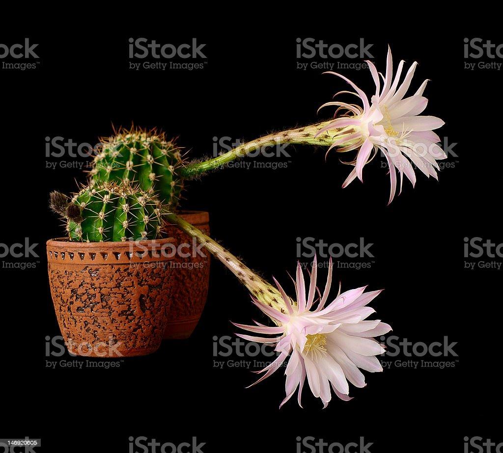 cactus flowers echinopsis hybrid royalty-free stock photo