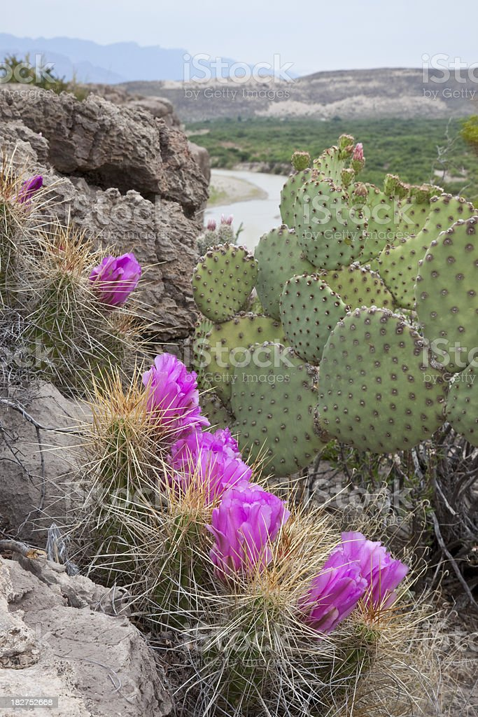 Cactus Flowers Over Rio Grande at Big Bend National Park stock photo