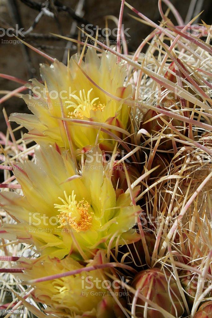 cactus flowers royalty-free stock photo