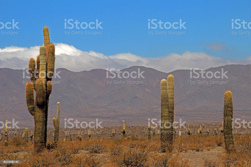Cactus forest, Cardones National Park, Cachi, Argentina stock photo