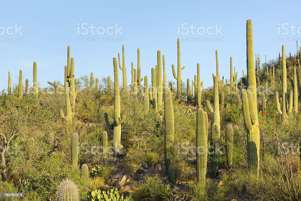 Cactus Forest stock photo