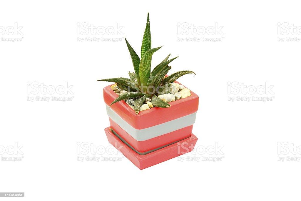 Cactus gift isolated on white royalty-free stock photo